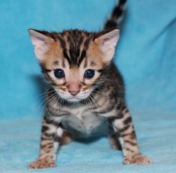 Bengal cat greensboro nc