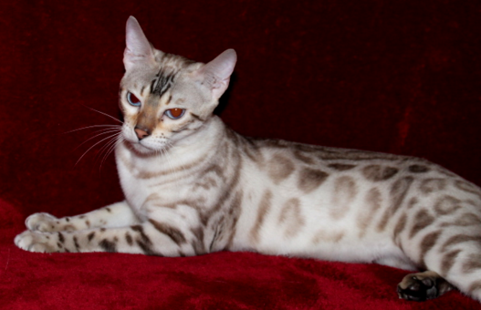 Available Bengal Kittens Rosetted Bengals Brown