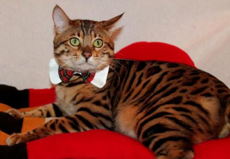 Bengal Cat Studs Available Bengal Kittens Royal Bengals