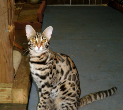 Bengal cat for sale south carolina
