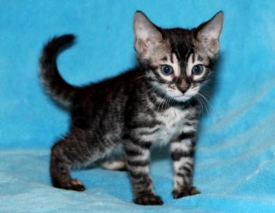 modern siamese kittens